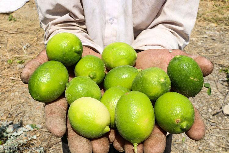برداشت 11 هزار تن لیموترش از باغ های سیستان و بلوچستان