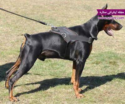 معرفی سگ دوبرمن