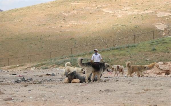 ساماندهی سگ های ولگرد در زیستگاه گونه در معرض انقراض میش مرغ